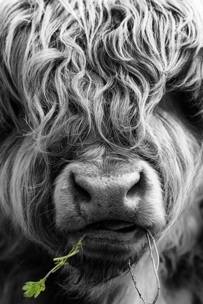 ox.hair