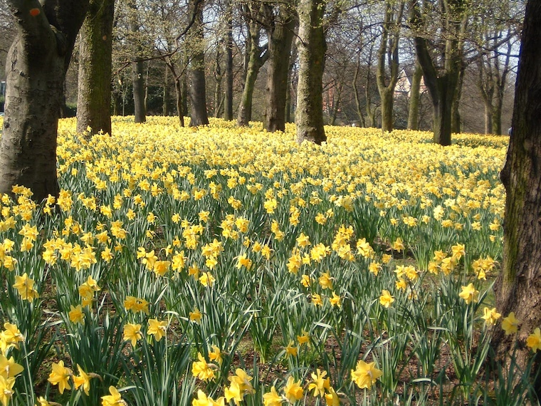 Field of golden daffodils, by Jeanello