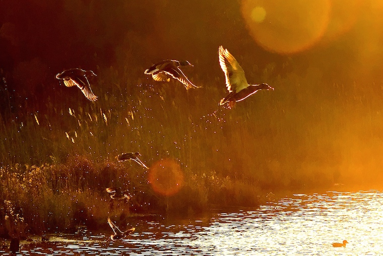 Foap-Ducks_in_flight__a1748_@FRANK.SOLLECITO.3_Frank.Sollecito