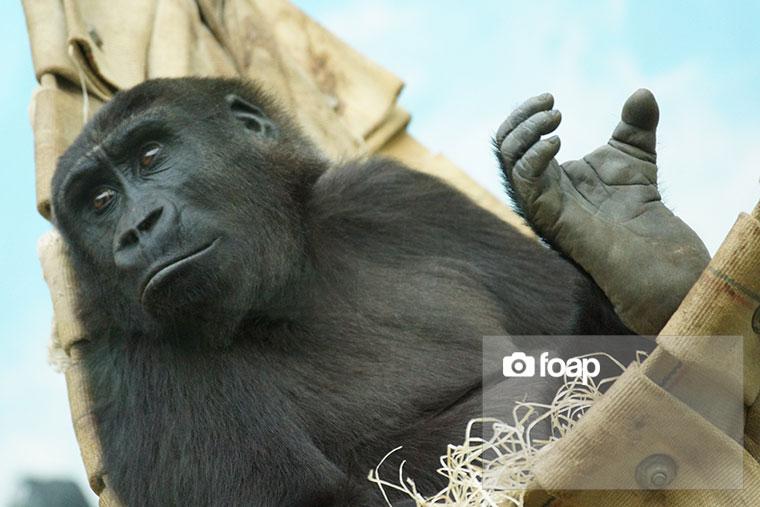 Foap-Chimpanz__