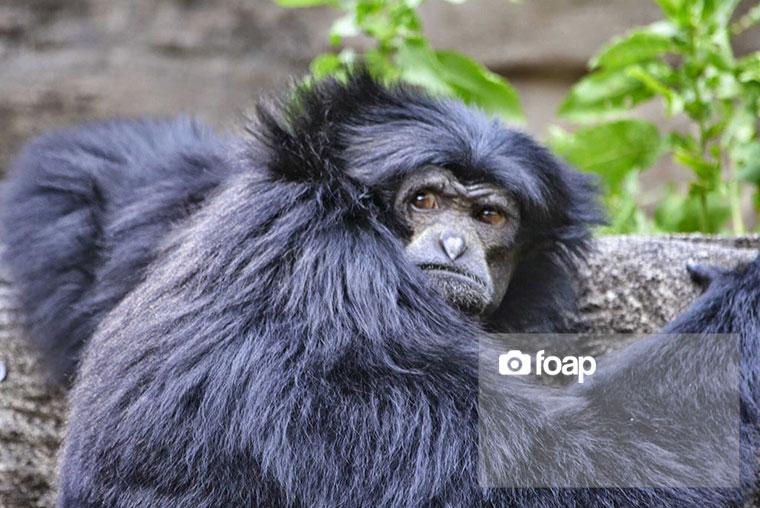 Foap-Monkey
