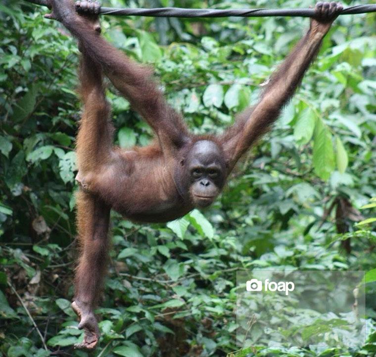 Foap-Orangutan