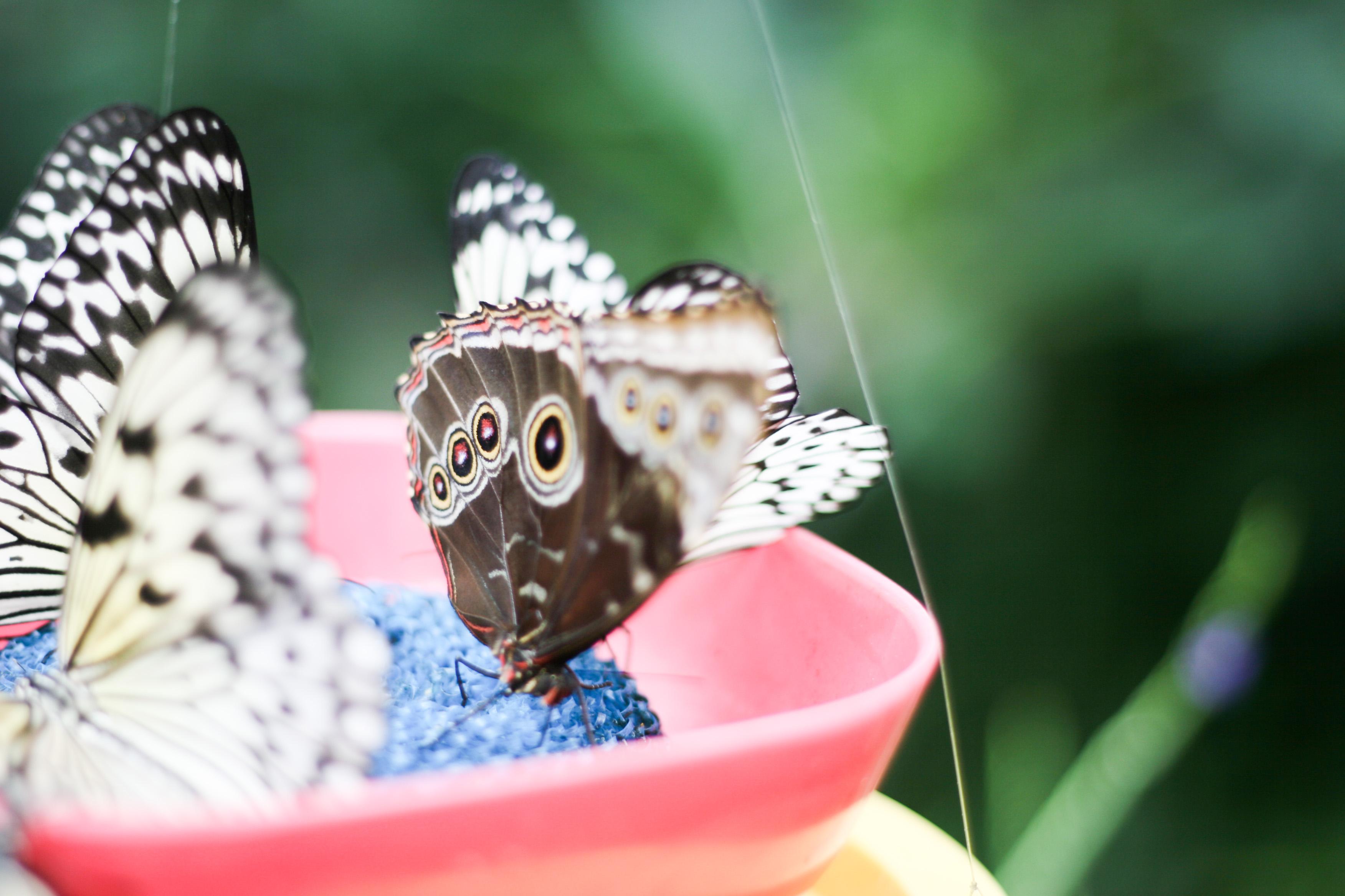 Foap-Butterflies_Feeding