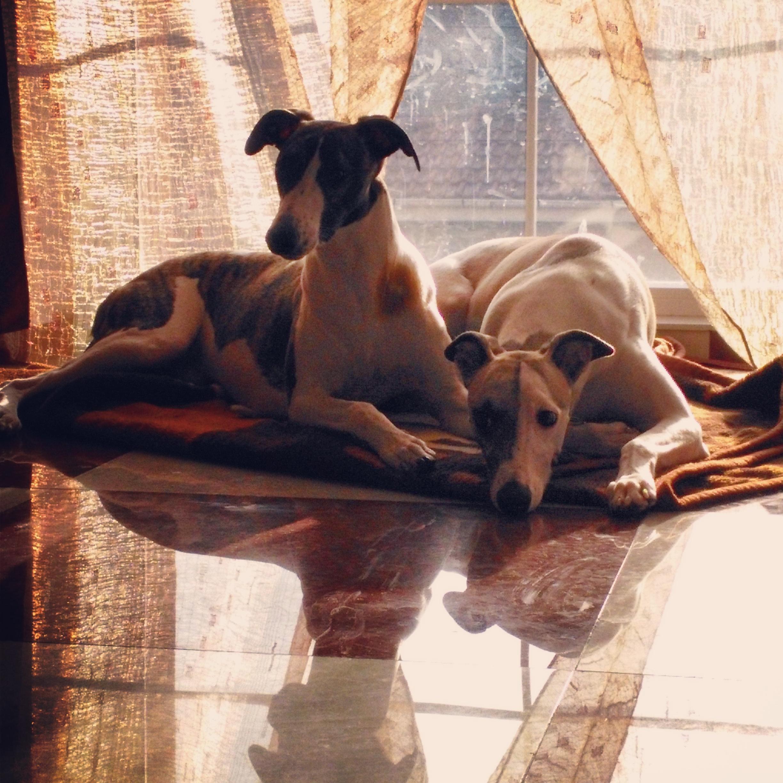 Foap-Lazy_whippet_dogs_