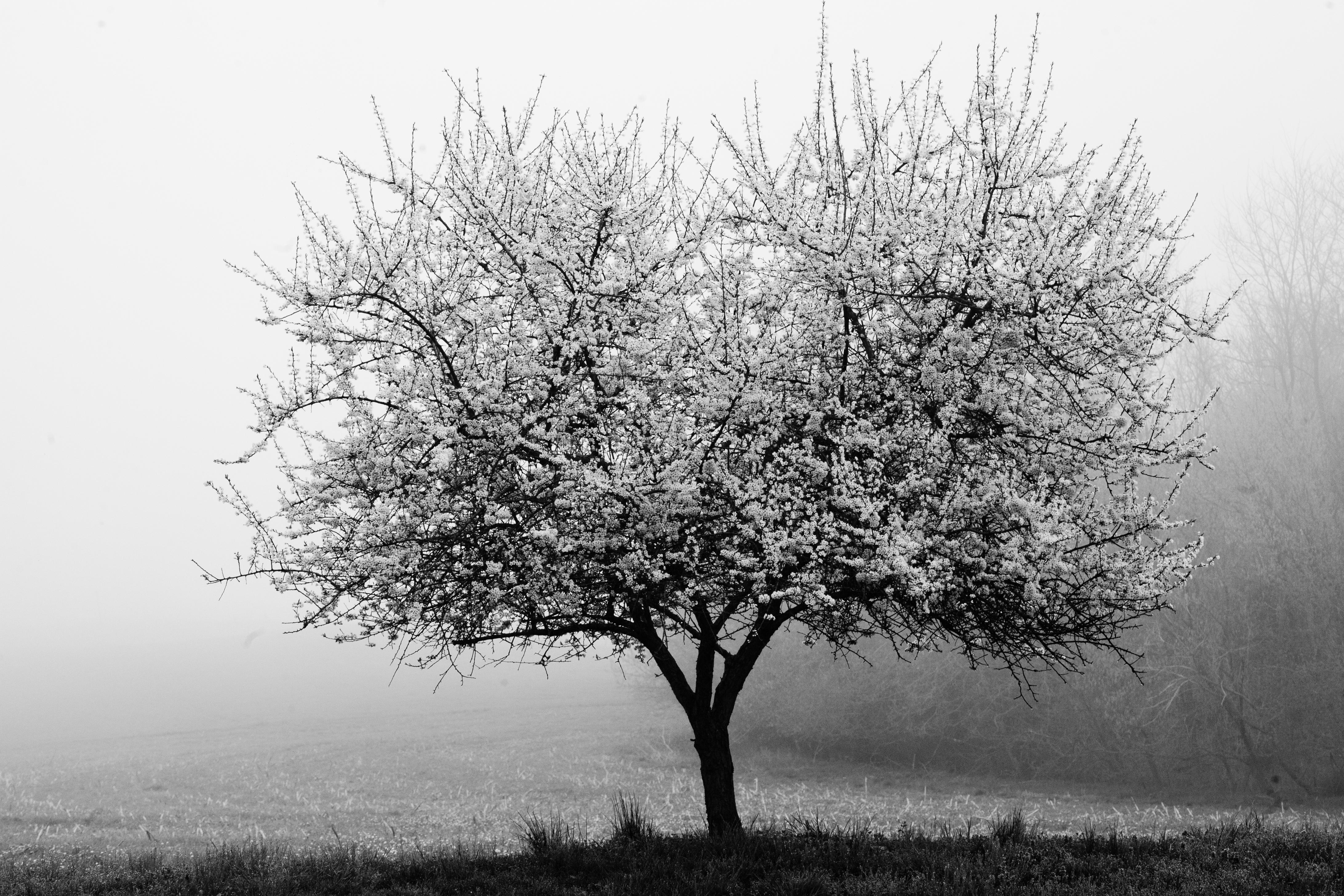 Foap-Tree_in_Peach_Bottom