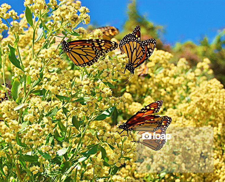 Foap-Butterflies_on_a_yellow_bush