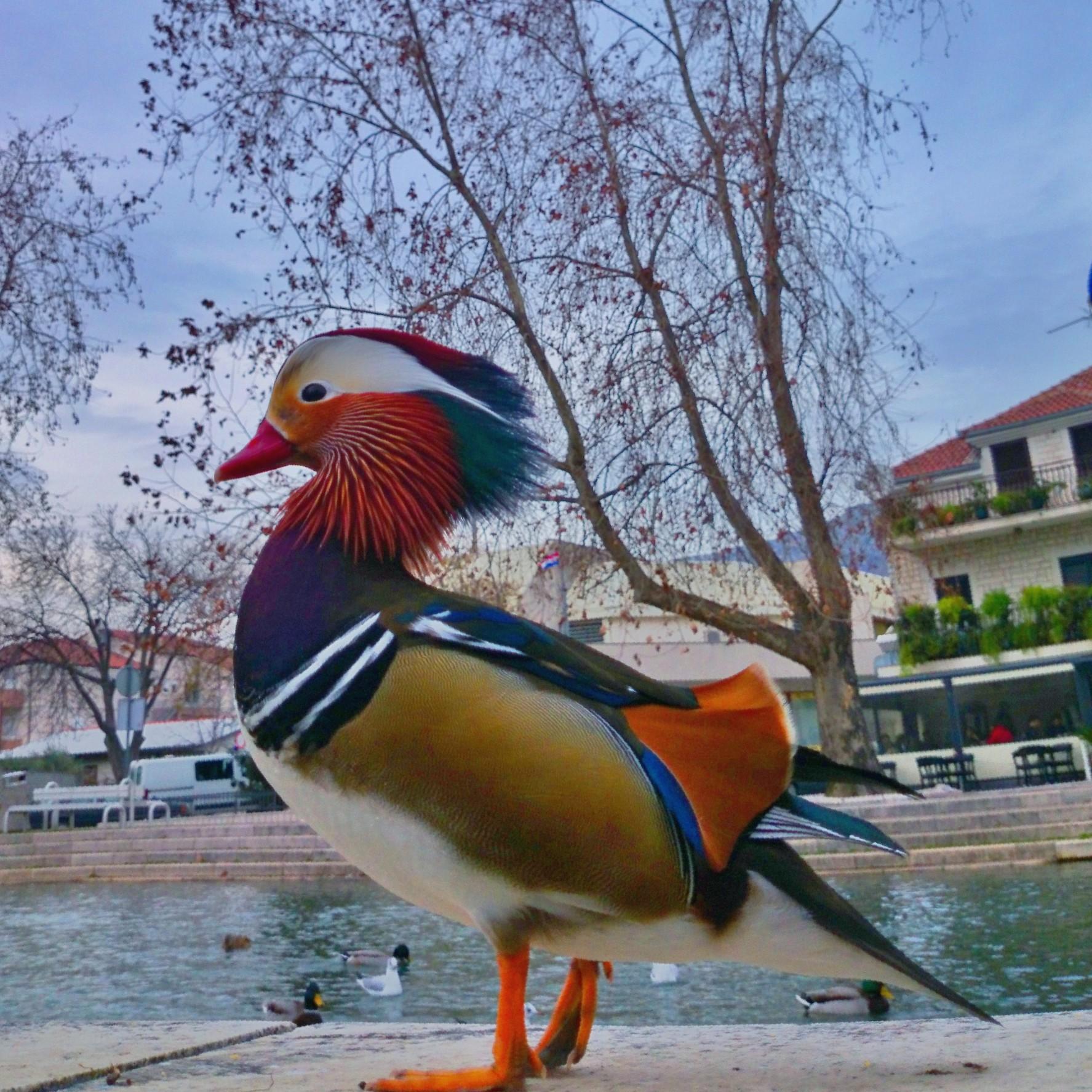 Foap-Duck