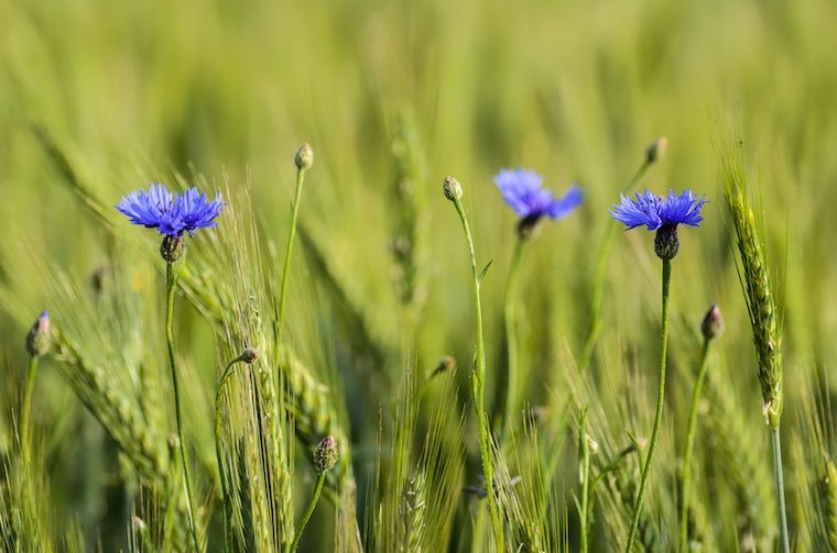 Cornflowers in green wheat field