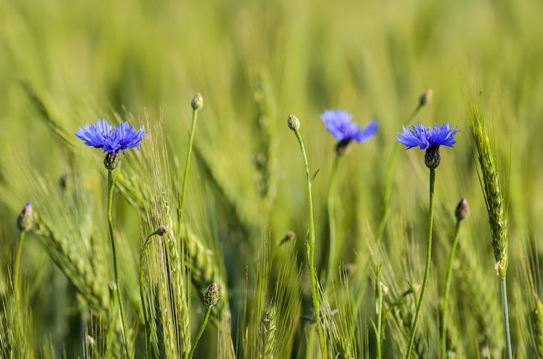 Cornflowers in green wheat field