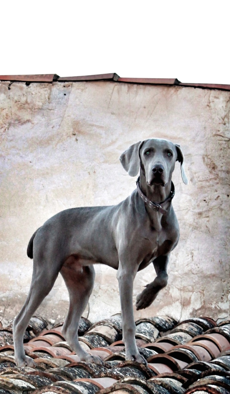 Foap-The_spanish_Roof_dog