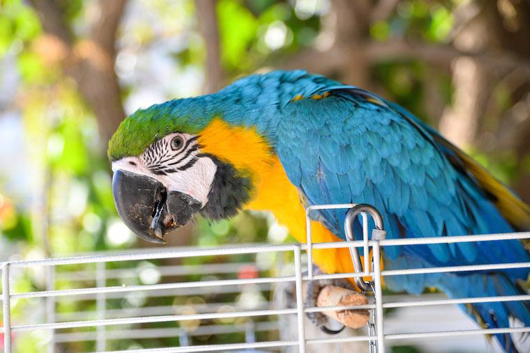Foap-Blue_parrot