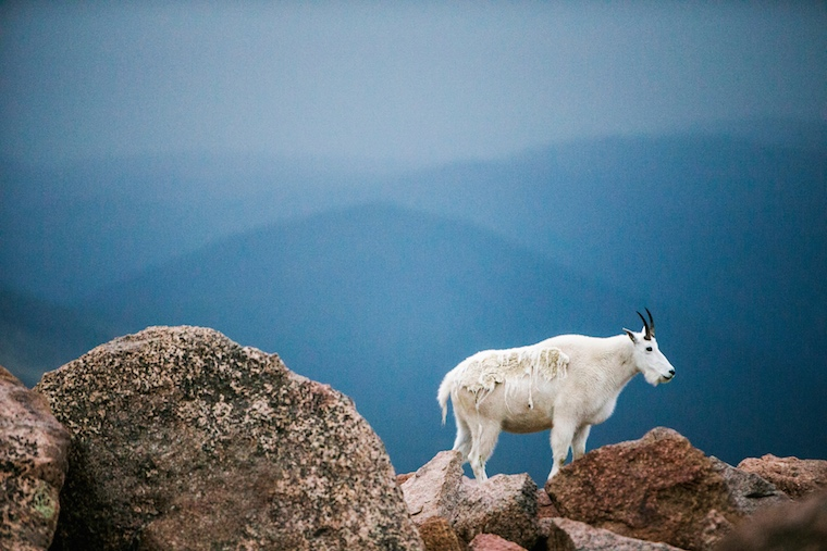 Foap-Mountain_goat_