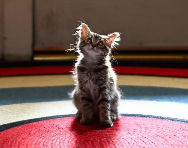 Foap-sweet_cat_mammals_cute_by_hollyau92