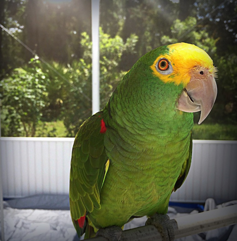 Foap-Amazon_Parrot_in_the_sun