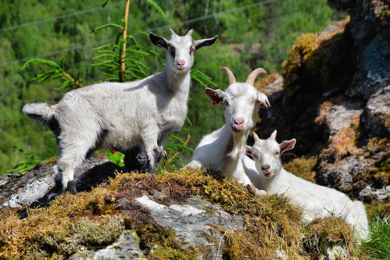 Foap-Goats_in_evening_sun