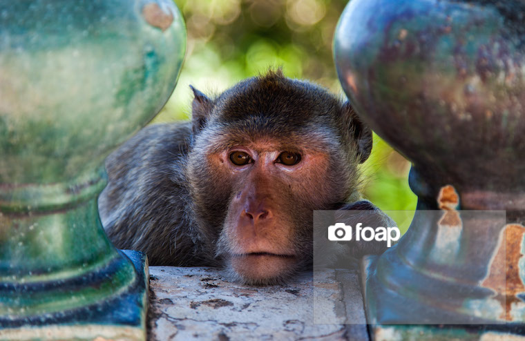 Foap-Monkey copy