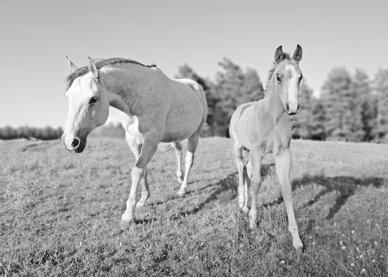 Foap-Mother_mare_and_daughter_foal