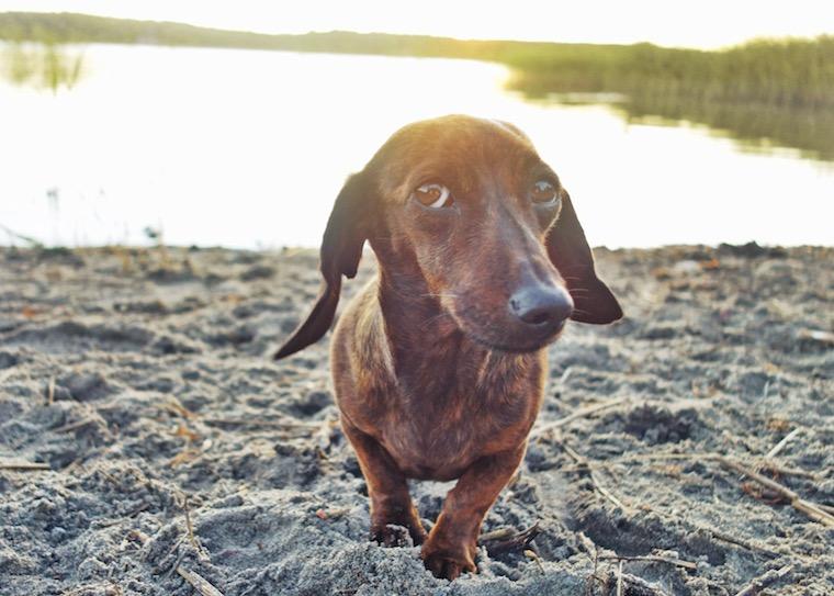 Foap-Sceptic_dachshund_Dolly