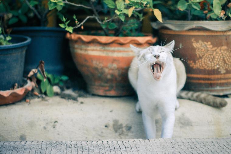 Foap-cat