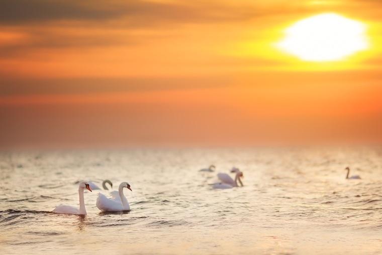 Foap-Swans_at_golden_sunrise