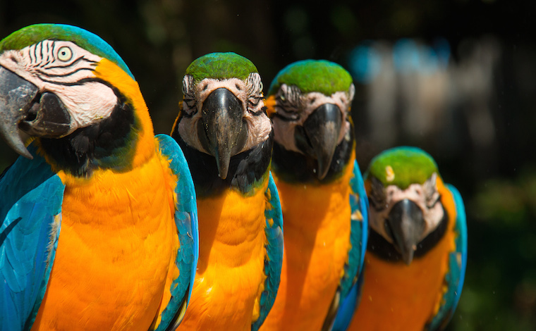Macaws in Brazil