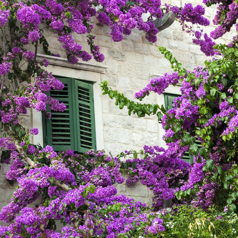 Bougainvillea and window