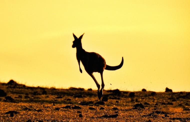 Foap Kangaroo
