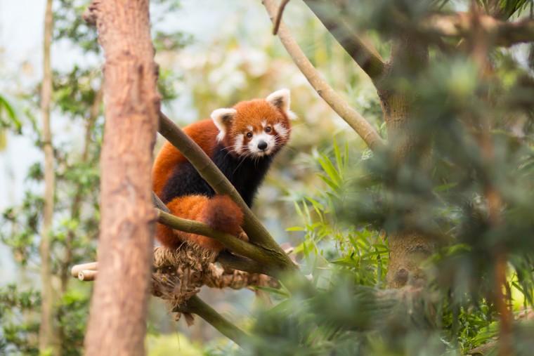 Foap Red Panda